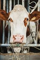 Alimentation vaches montbeliardes