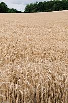 Champ de cereales