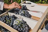 Recolte raisin de table