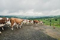 Sortie vaches montbeliardes