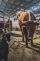 Traite des vaches salers
