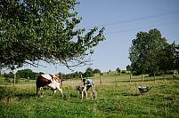 Velage vache montbeliarde
