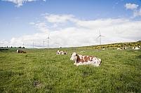 Vaches Montbeliardes au pre