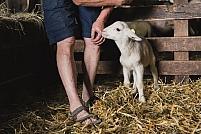Moutons en bergerie