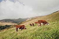 Troupeau vaches laitieres en estive